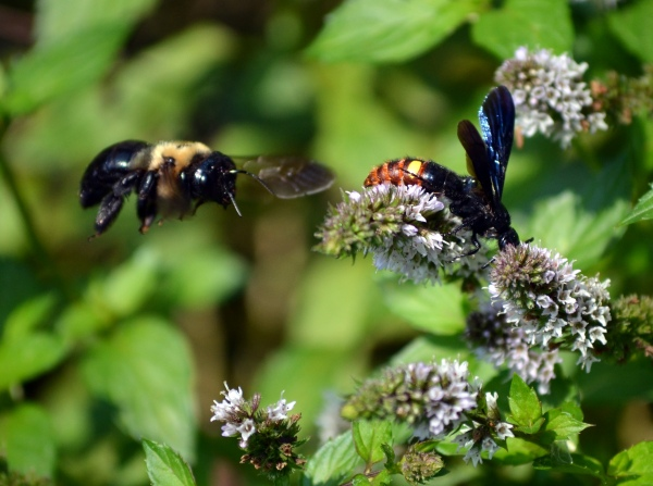 Bombus Griseocollis (Brown Belted Bumblebee) surprises  Scolia dubia (Blue-Winged Digger Wasp)