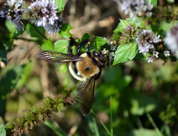 Bombus Griseocollis (Brown Belted Bumblebee)