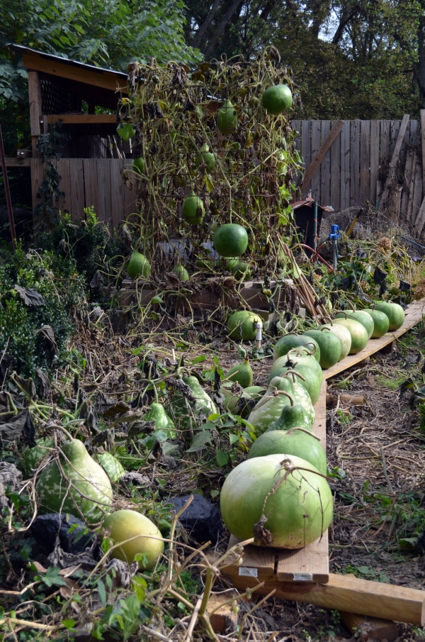 Bushel Basket Gourds + Cross with Apple Gourds