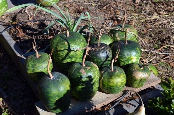 Apple_Gourds_Drying