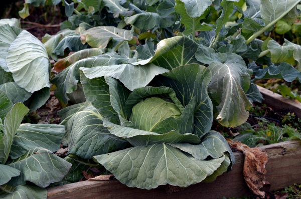 Winter Kissed Cabbage