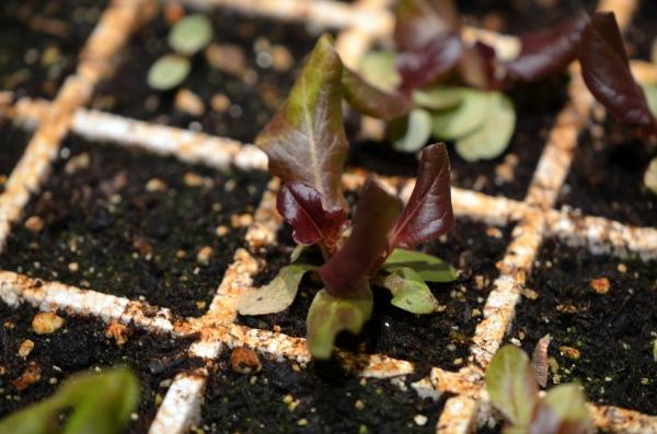 """Lettuce, """"Bronze Arrowhead"""""""