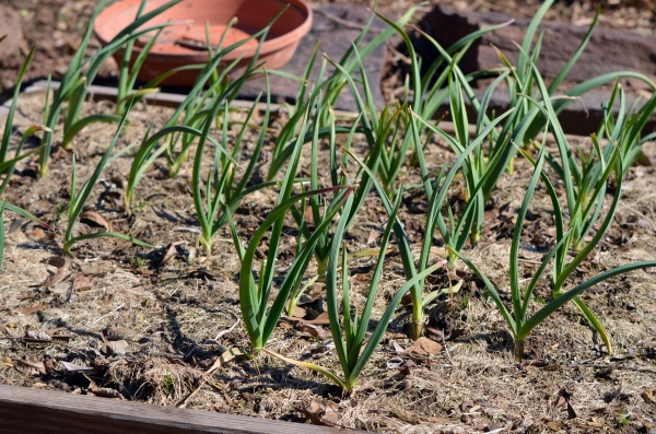 California Late Garlic in March