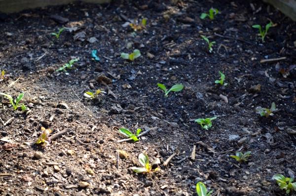 Baby Spring Lettuce