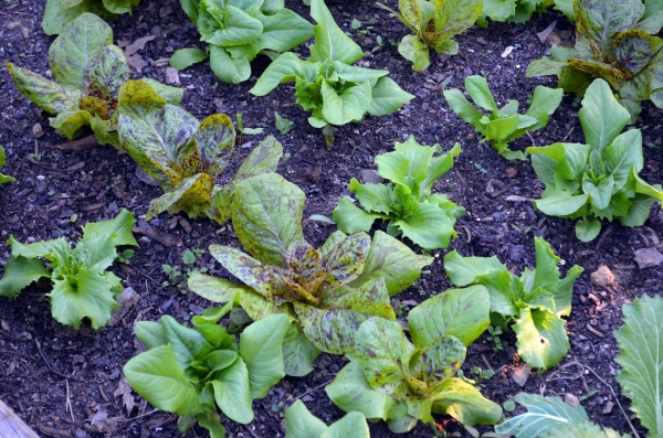 Lettuces: Forellenschluss, Reine des Glaces, Amish Deer Tongue