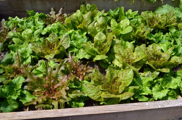 Heirloom Lettuces