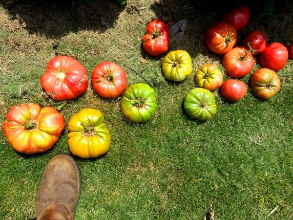 Brandywine & German Yellow tomatoes