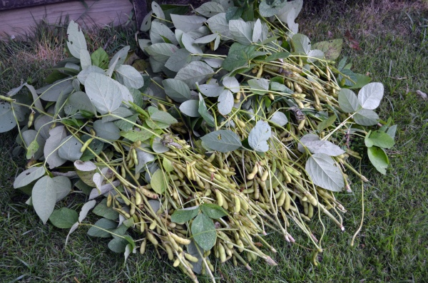"First soy harvest of the season (""Envy"")"