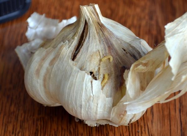 Onion Maggots in Inchelium Red Garlic