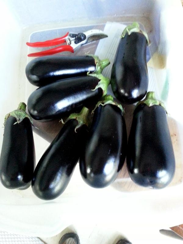 A week's eggplant harvest